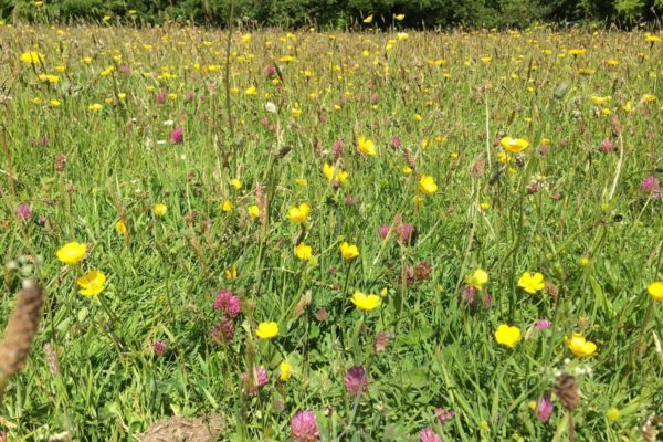 Meadow 3 buttercups and red clover meadow